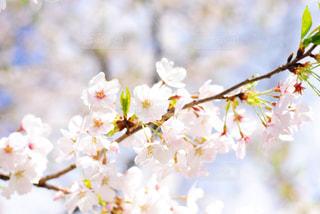 桜 - No.1011995