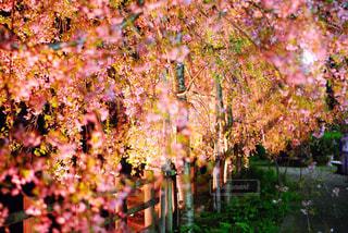 夜桜キラキラ - No.1012014