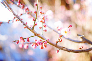 梅の花の写真・画像素材[1016411]