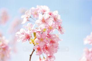 近河津桜の写真・画像素材[1055573]