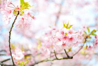 河津桜の写真・画像素材[1055578]