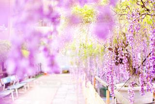 藤の花の写真・画像素材[1178758]