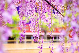 藤の花 - No.1178766