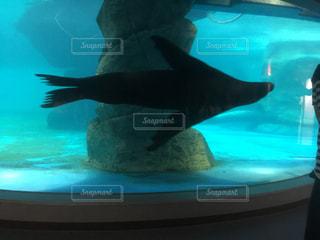 泳ぐアシカの写真・画像素材[1012153]