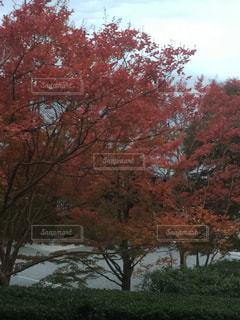 燃える紅葉の樹々の写真・画像素材[1012191]