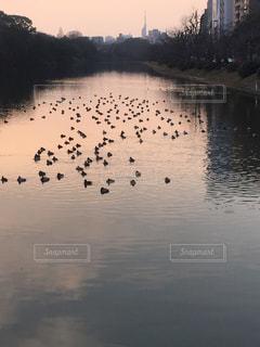 水の上に浮かぶカモの群れの写真・画像素材[1012339]