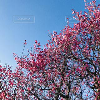 近くの梅の木のアップ - No.1012460