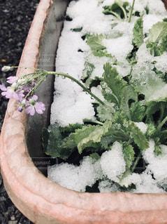 雪と花 - No.1012475