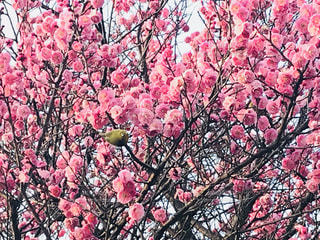 ピンクの花の木 - No.1017834