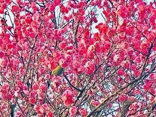 梅の木にメジロ - No.1018145