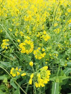 フィールド内の黄色の花の写真・画像素材[1784975]
