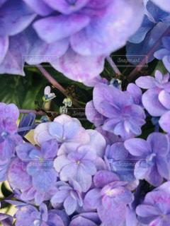 紫色の花のクローズアップの写真・画像素材[2279520]
