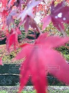 紅葉の写真・画像素材[3922110]