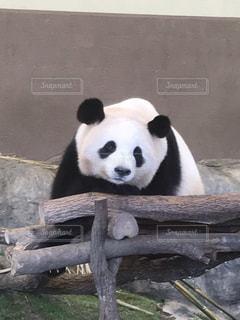 ベンチに座っているパンダの写真・画像素材[2213762]