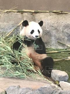 岩の上に座っているパンダの写真・画像素材[2213763]