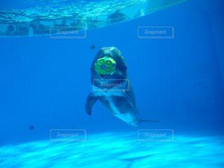 ボールで遊ぶイルカの写真・画像素材[1013422]