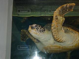 泳ぐ亀の写真・画像素材[1013423]