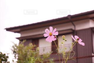 庭のコスモス - No.1012654