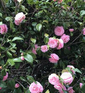 ピンクの椿の写真・画像素材[1081788]