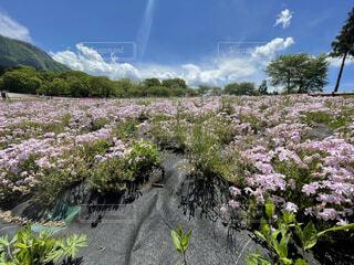 芝桜と青空の写真・画像素材[4378949]