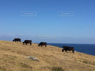 大草原で飼育されている牛。の写真・画像素材[1013115]