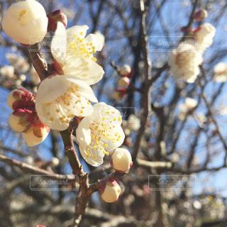 まん丸な梅の花 - No.1013226