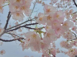 sakuraの写真・画像素材[1014747]