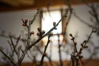 梅も蕾の写真・画像素材[1013299]