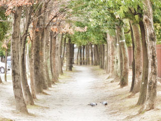 自然,公園,冬,森林,鳥,緑,シンプル,並木道,鳩,ハト