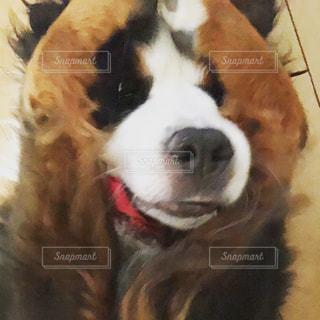 顔を隠す犬の写真・画像素材[1013404]