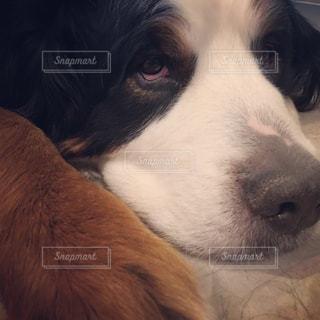 犬のアップの写真・画像素材[1013406]