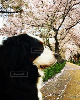 桜の中に座っている犬の写真・画像素材[1013410]