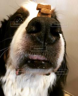 おやつを我慢する犬の写真・画像素材[1013411]