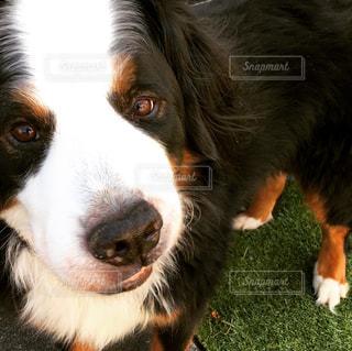 カメラを見て何か企んでいる犬の写真・画像素材[1013412]