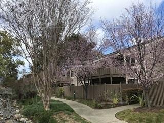 アメリカカリフォルニア州の桜の写真・画像素材[1013608]