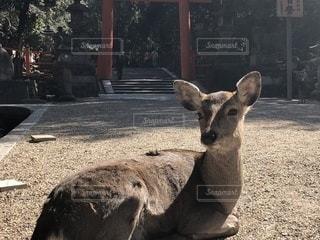 鳥居前の鹿さんの写真・画像素材[1035950]