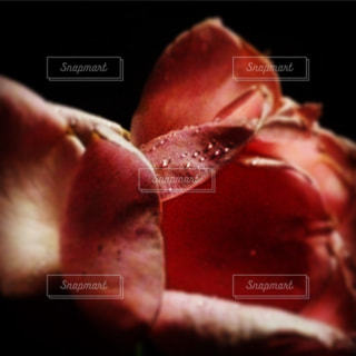 夜のバラの写真・画像素材[1014731]