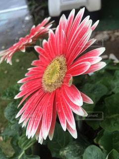近くの花のアップの写真・画像素材[1014736]