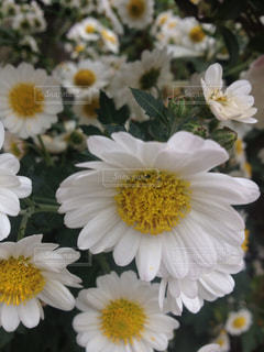 近くの花のアップの写真・画像素材[1014785]