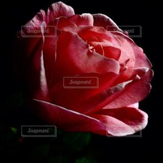 夜のバラの写真・画像素材[1018103]