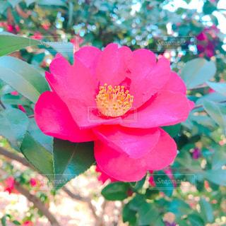 椿の花の写真・画像素材[1015528]