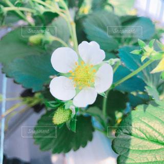 苺の花の写真・画像素材[1015531]