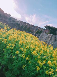 菜の花の写真・画像素材[1085190]