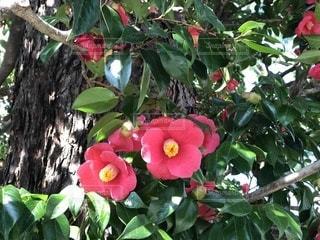 椿が咲いているの写真・画像素材[1048998]