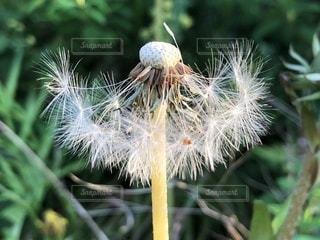 たんぽぽの綿毛の写真・画像素材[1138119]
