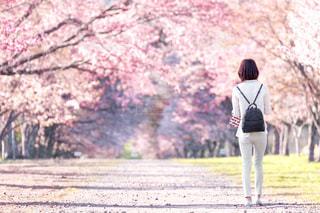 桜並木の写真・画像素材[1062828]