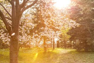 夕焼けの桜の写真・画像素材[1069073]