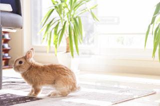 ウサギの写真・画像素材[1147618]