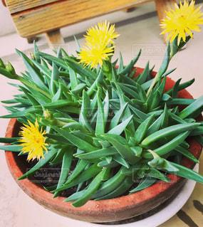 多肉植物の花の写真・画像素材[1110292]