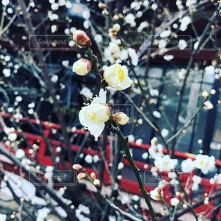 春の訪れ 日枝神社の写真・画像素材[1017272]